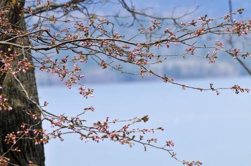 いよいよ桜・・・