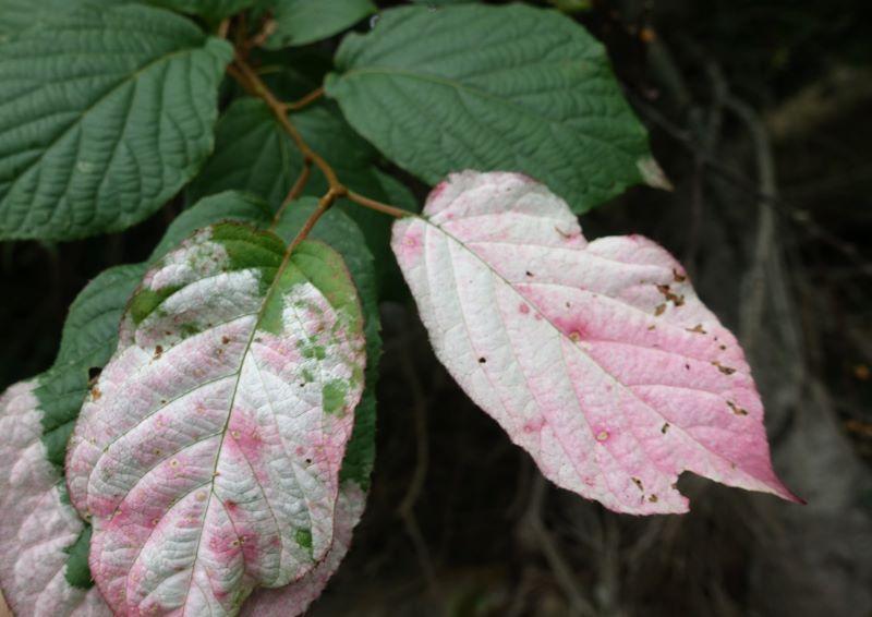白からピンクに変色したマタタビの葉